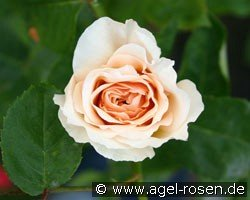 English Garden (Englische Rose)