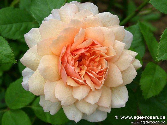 grace englische rose kaufen bei agel rosen. Black Bedroom Furniture Sets. Home Design Ideas