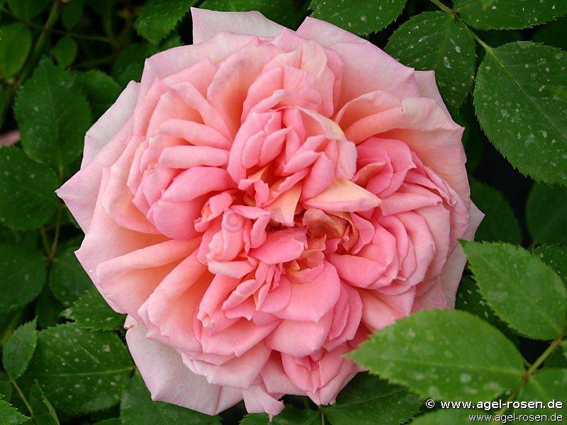 janet englische rose kaufen bei agel rosen. Black Bedroom Furniture Sets. Home Design Ideas