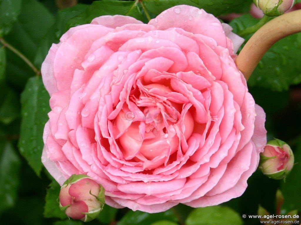 jubilee celebration englische rose kaufen bei agel rosen. Black Bedroom Furniture Sets. Home Design Ideas