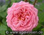 Jubilee Celebration (Englische Rose)