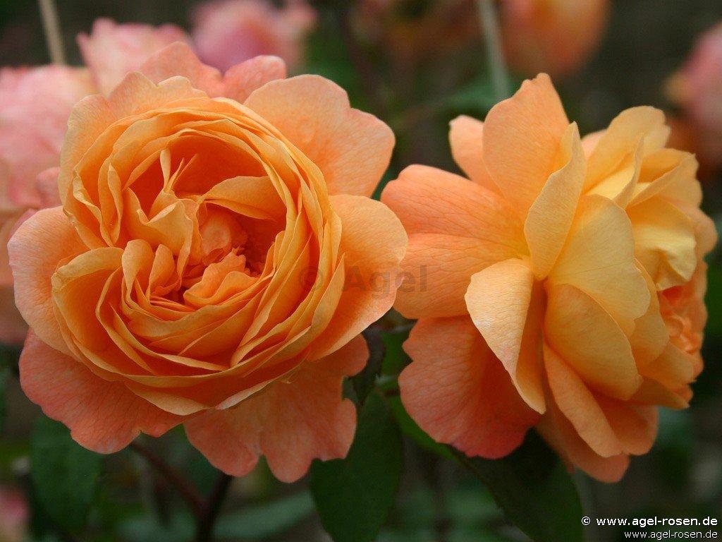 lady emma hamilton englische rose kaufen bei agel rosen. Black Bedroom Furniture Sets. Home Design Ideas