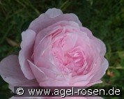 Queen of Sweden (Englische Rose)