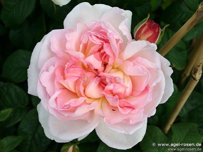 sharifa asma englische rose kaufen bei agel rosen. Black Bedroom Furniture Sets. Home Design Ideas