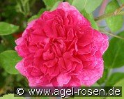 Sophy's Rose (Englische Rose)
