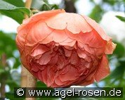 Summer Song (Englische Rose)