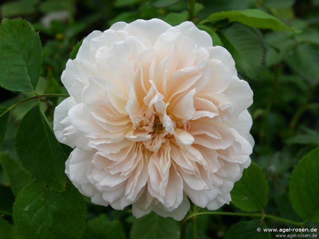 tea clipper englische rose kaufen bei agel rosen. Black Bedroom Furniture Sets. Home Design Ideas