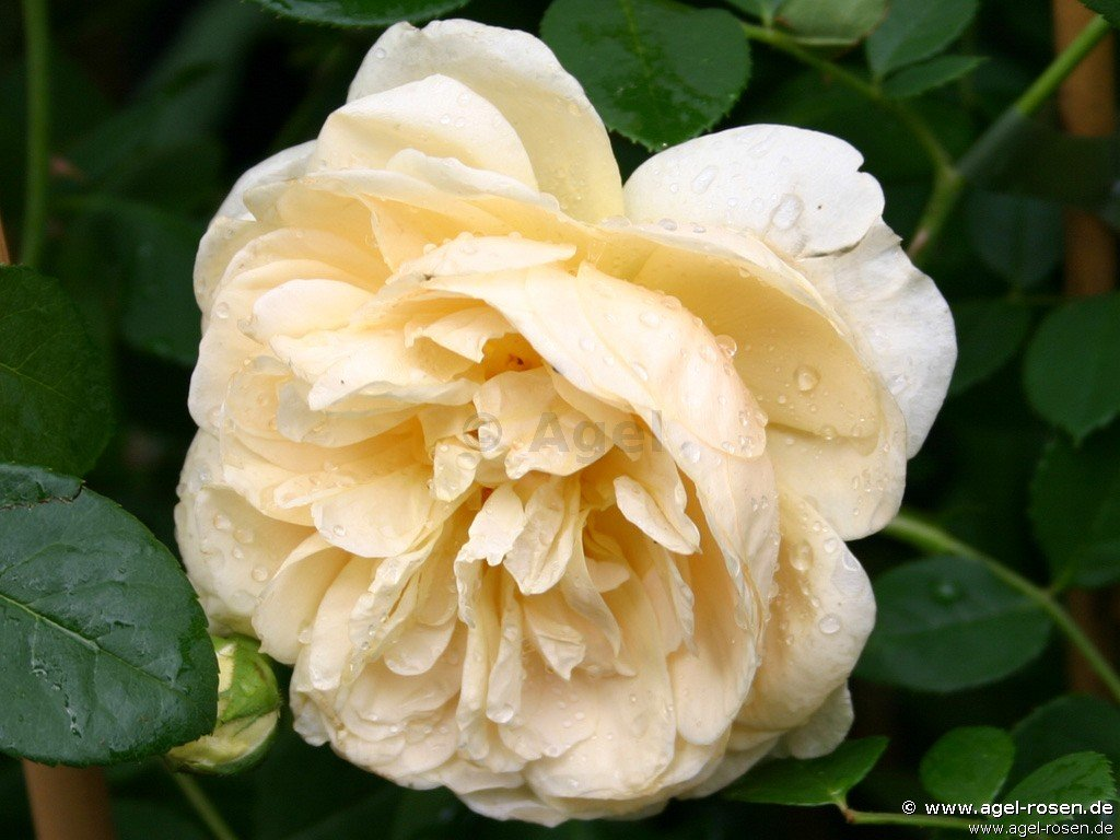 teasing georgia englische rose kaufen bei agel rosen. Black Bedroom Furniture Sets. Home Design Ideas