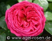 The Dark Lady (Englische Rose)
