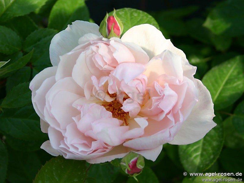 The Generous Gardener Englische Rose Kaufen Bei Agel