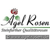 The Wedgewood Rose (Englische Rose)