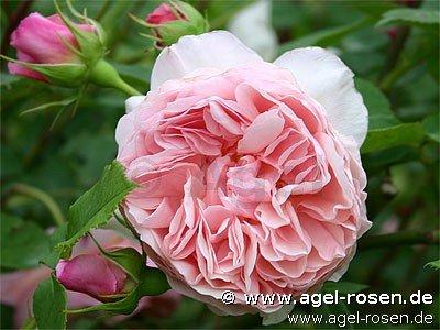 william morris englische rose kaufen bei agel rosen. Black Bedroom Furniture Sets. Home Design Ideas
