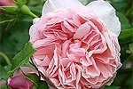 William Morris (Englische Rose)
