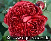 William Shakespeare 2000 (Englische Rose)