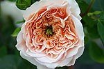 Apricot Parfait syn. Evelyn (English Rose)