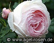 Ausblush (English Rose)