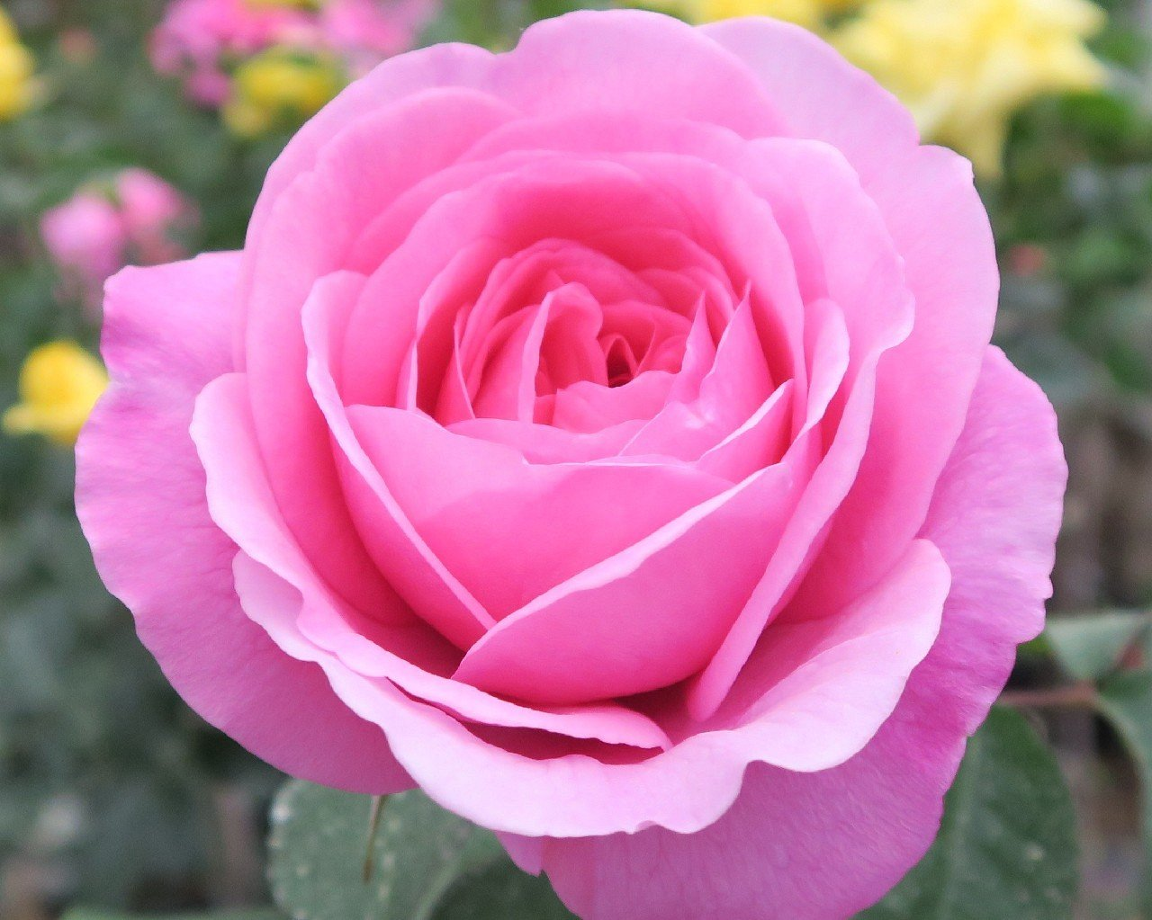 Ausbord (English Rose)