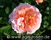 Ausbred (English Rose)