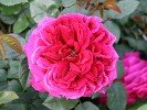 Auschild (English Rose)