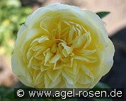 Auscomp (English Rose)