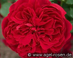Auscrim (English Rose)