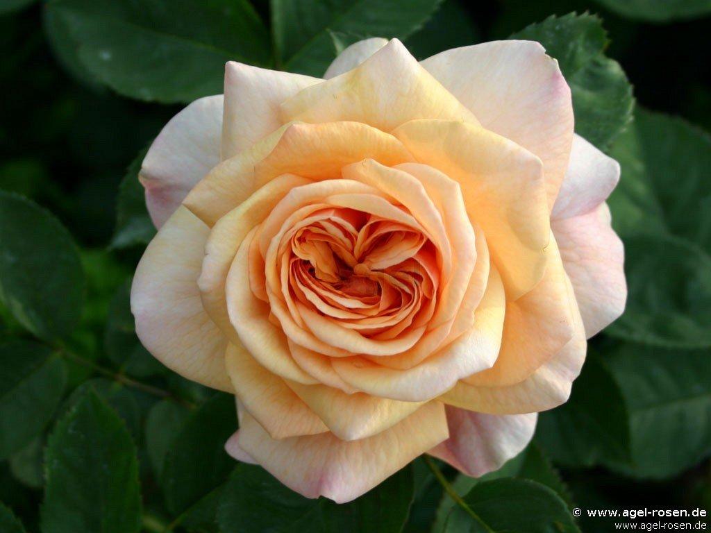ausfather english rose buy at agel rosen. Black Bedroom Furniture Sets. Home Design Ideas