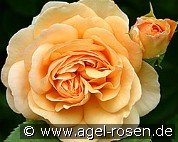 Ausfather (English Rose)