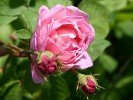 Ausfirst (English Rose)