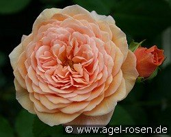 Auslea (English Rose)