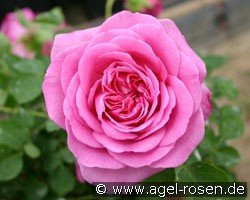 Auslian (English Rose)