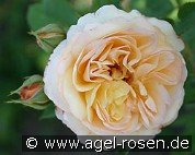 Ausling (English Rose)