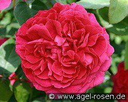 Auslo (English Rose)