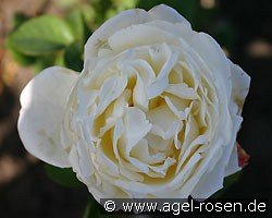 Auswebb (English Rose)