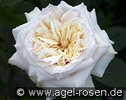 Bad Homburg (English Rose)