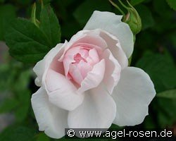 Barbara Austin (English Rose)