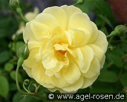 Blythe Spirit (English Rose)