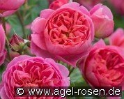 Boscobel (English Rose)