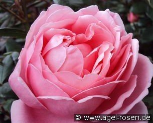 Brother Cadfael (English Rose)