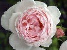 Chaucer (Auscon) (English Rose)