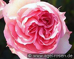 Christian Schultheis (English Rose)