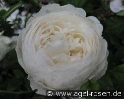 Claire Austin (English Rose)