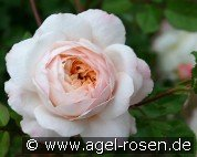 Crocus Rose (English Rose)