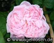 Eglantyne (English Rose)