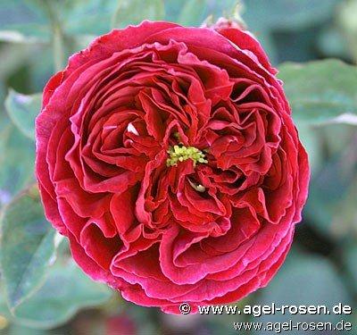 falstaff english rose buy at agel rosen. Black Bedroom Furniture Sets. Home Design Ideas