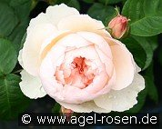 Gentle Hermione (English Rose)