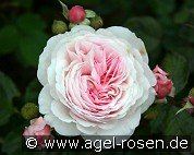 Geoff Hamilton (English Rose)