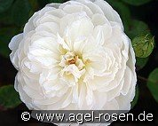 Glamis Castle (English Rose)