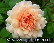 Grace (English Rose)