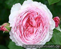 james galway english rose buy at agel rosen. Black Bedroom Furniture Sets. Home Design Ideas