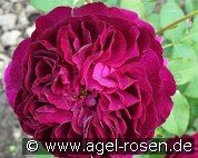 Munstead Wood (English Rose)